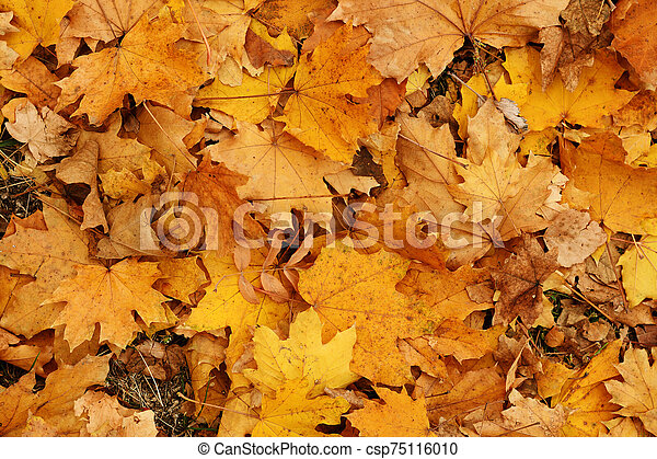 Background of autumn yellow leaves - csp75116010