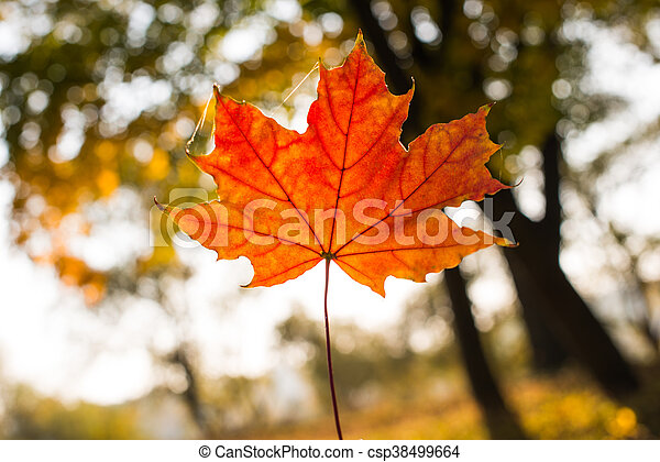 background of beautiful autumn maple leaves - csp38499664