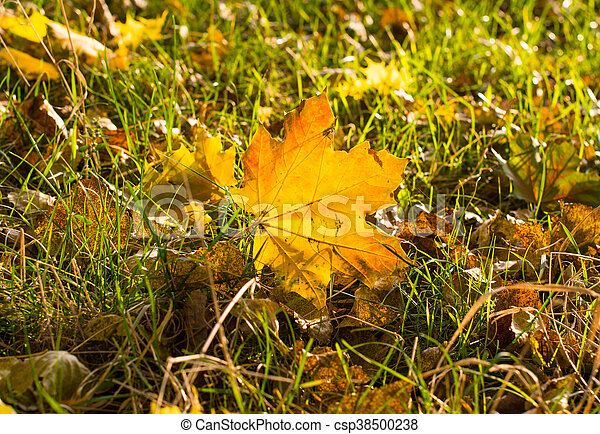 background of beautiful autumn maple leaves - csp38500238