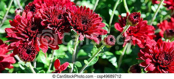 background of bright garden flowers - csp49689712