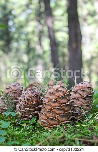Background of brown cedar cones on a green moss - csp73108224