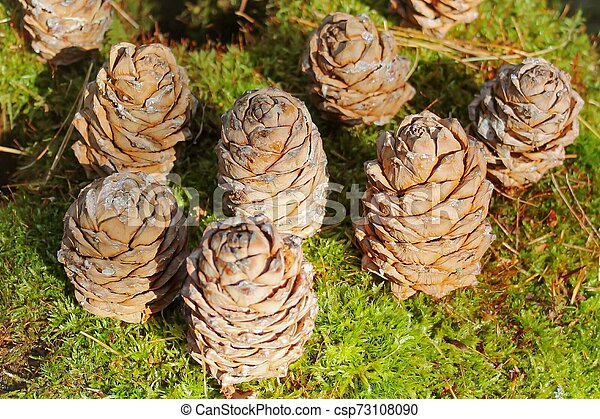Background of brown cedar cones on a green moss - csp73108090