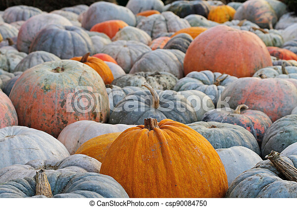 Background of colorful pumpkins at autumn festival - csp90084750