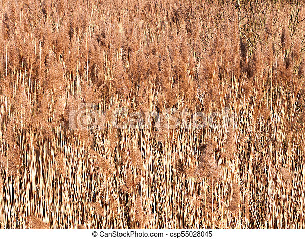 background of golden grass reeds plant nature wallpaper - csp55028045