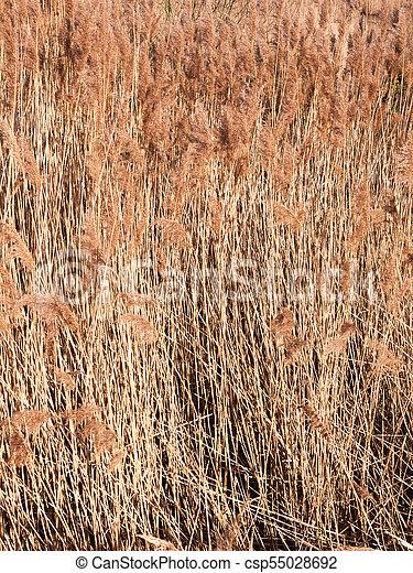 background of golden grass reeds plant nature wallpaper - csp55028692