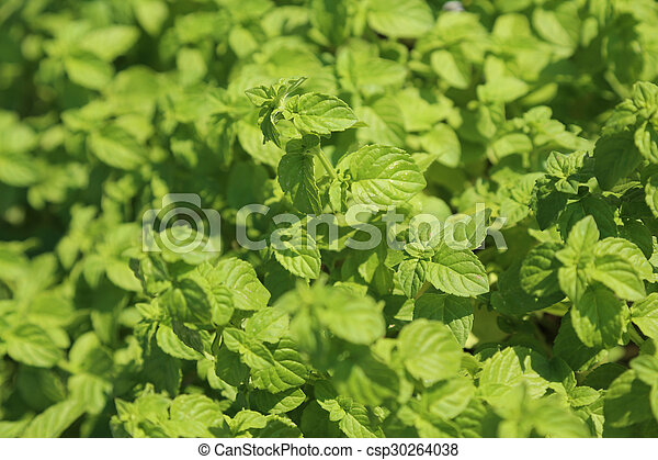 background of Green Mint leaves - csp30264038