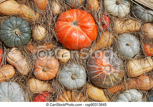 Background of hay and colorful pumpkins at autumn festival - csp90313645