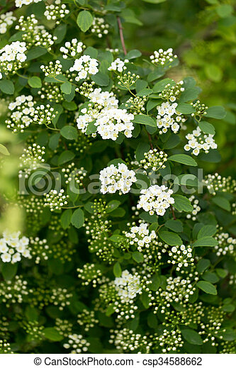 Background of little white flowers blooming bush background of little white flowers blooming bush csp34588662 mightylinksfo