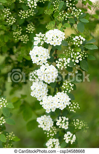 Background of little white flowers blooming bush stock image background of little white flowers blooming bush csp34588668 mightylinksfo Images