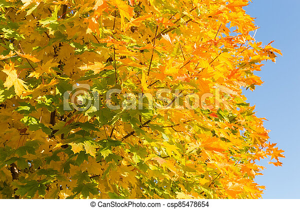 Background of maple branches with autumn varicolored leaves - csp85478654
