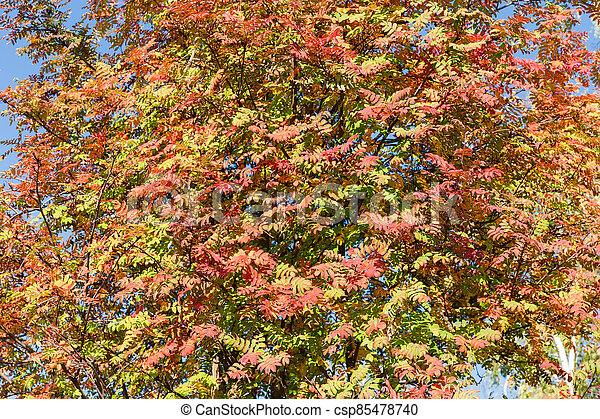 Background of rowan branches with autumn leaves - csp85478740