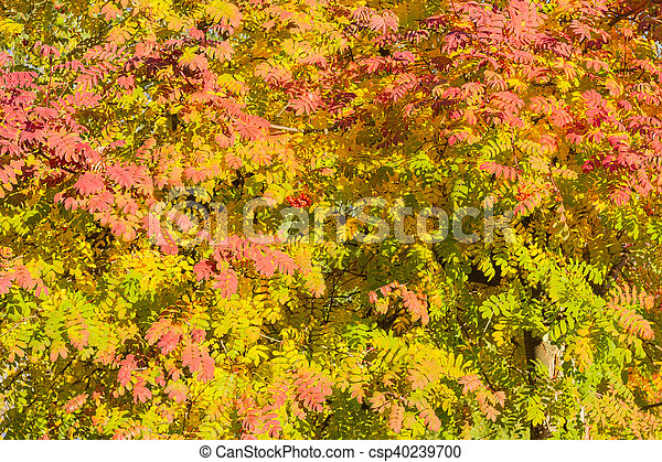 Background of rowans branches with varicolored leaves in autumn day - csp40239700