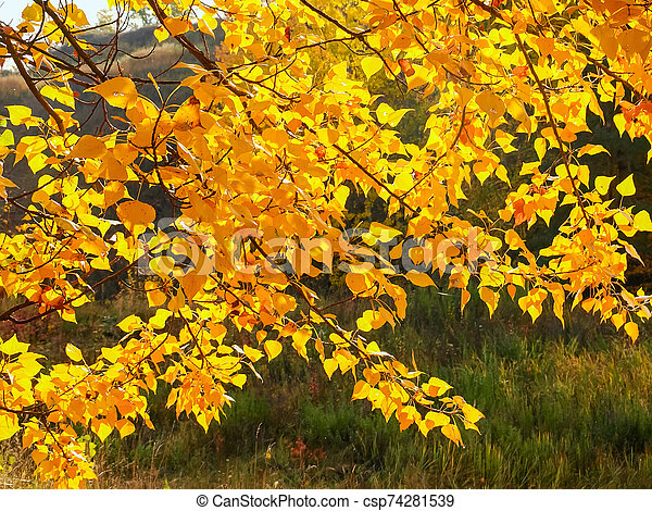 Background of the branches of poplar tree with autumn leaves - csp74281539