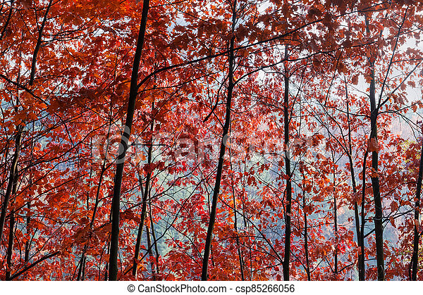 Background of the red oaks branches with autumn leaves - csp85266056