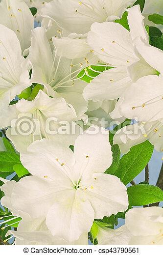 Background of white azalea flowers close up of white azalea flowers background of white azalea flowers csp43790561 mightylinksfo