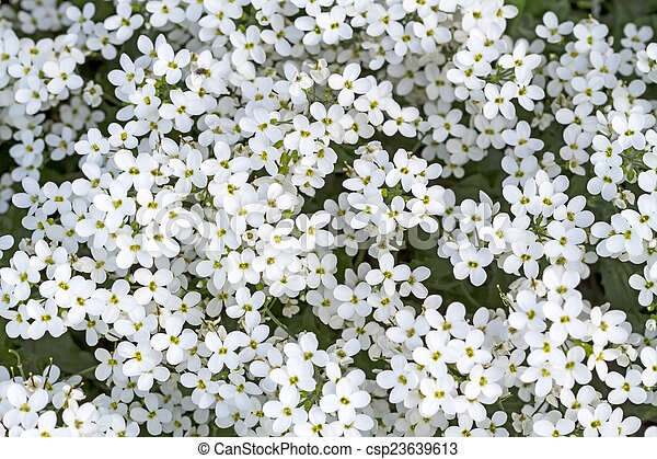 Background of white small flowers - csp23639613