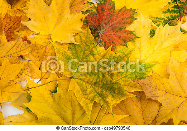 Background of yellow autumn leaves - csp49790546