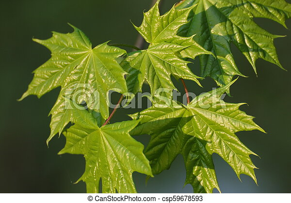 Background with maple leaves with reflection of sunlight - csp59678593