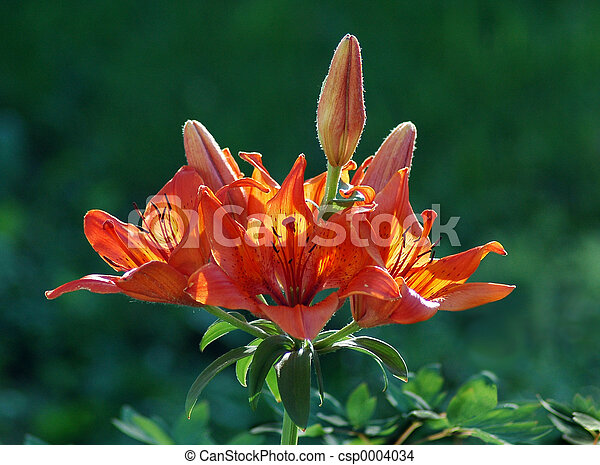 Backlight Lily - csp0004034