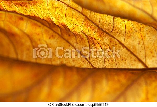 Backlit Dead Hydrangea Leaf - csp5855847