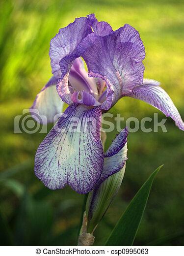 Backlit Purple Iris & Bud - csp0995063