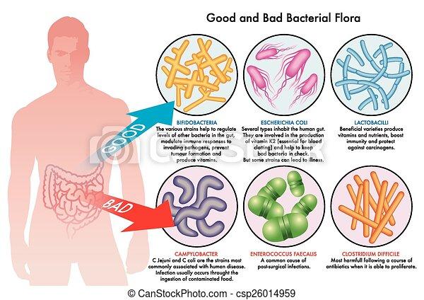bactérien, flore, intestinal - csp26014959