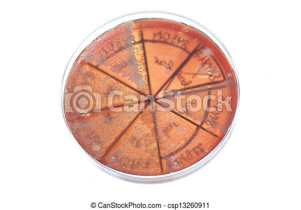 Bacteria on petri dish - csp13260911