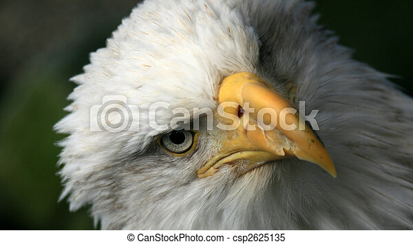 Bald Eagle Alaska Usa Bald Eagle National Symbol Of Usa
