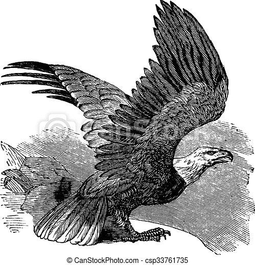 Bald Eagle (Haliaeetus leucocephalus), vintage engraving. - csp33761735
