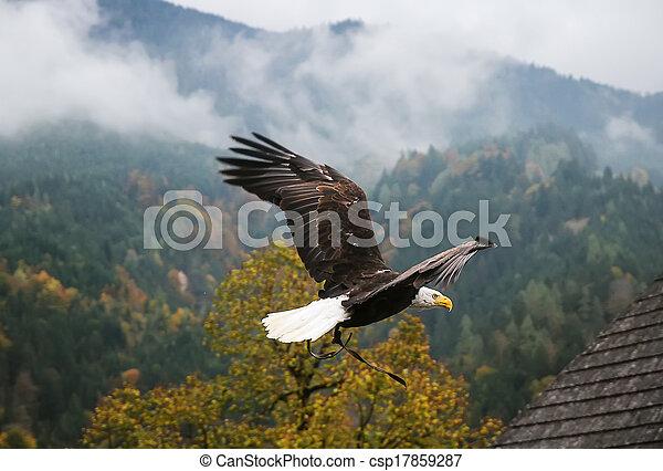Bald Eagle in flight, Austria - csp17859287