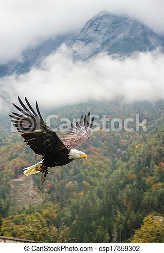 Bald Eagle in flight, Austria - csp17859302