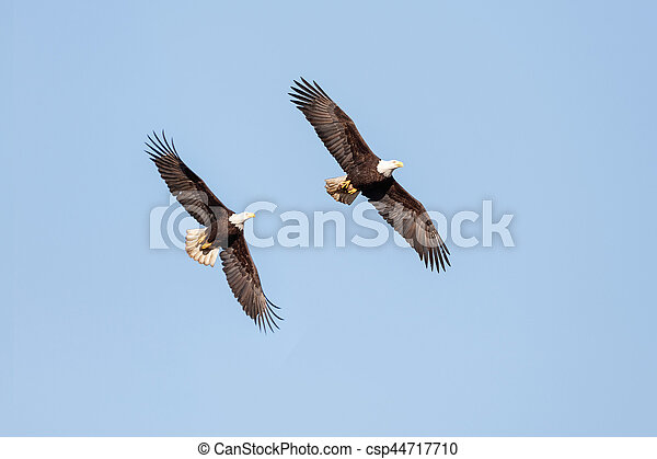 Bald Eagle in Flight - csp44717710