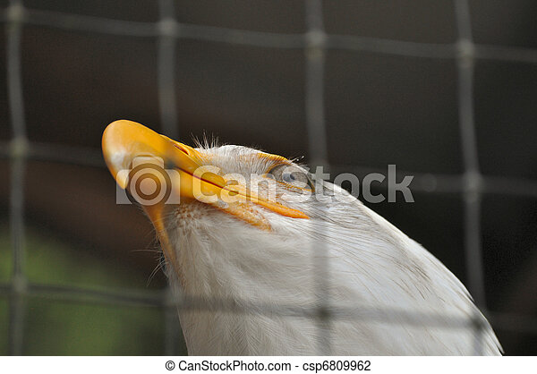 Bald Eagle in Rehabilitation Center - csp6809962