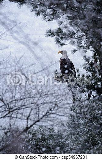 Bald Eagle in Snow Storm - csp54967201