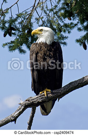 Bald Eagle in the Wild - csp2409474