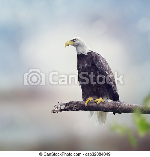 Bald Eagle on a Branch - csp32084049