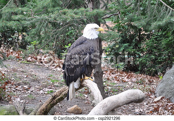 Bald Eagle on a tree - csp2921296