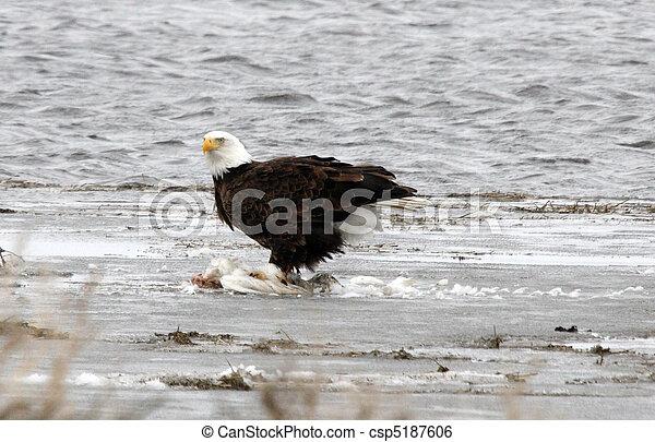 Bald Eagle.  Photo taken at Lower Klamath National Wildlife Refuge, CA. - csp5187606