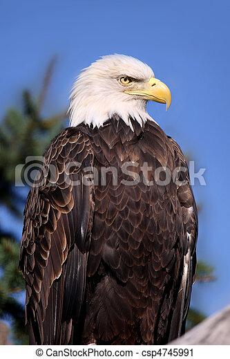Bald Eagle - csp4745991