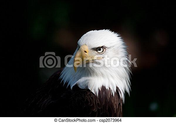 bald eagle - csp2073964