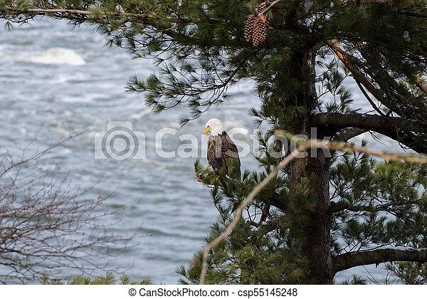 Bald Eagle - csp55145248