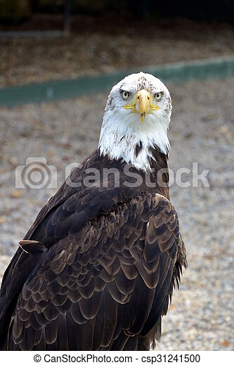 Bald Eagle - csp31241500