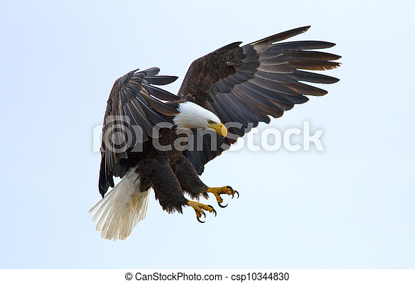 Bald Eagle - csp10344830