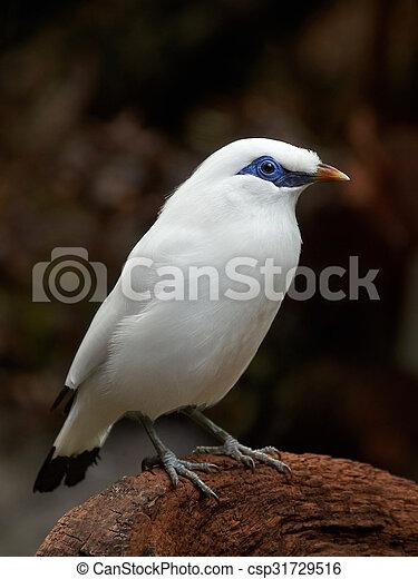 Bali starling (Leucopsar rothschildi) - csp31729516