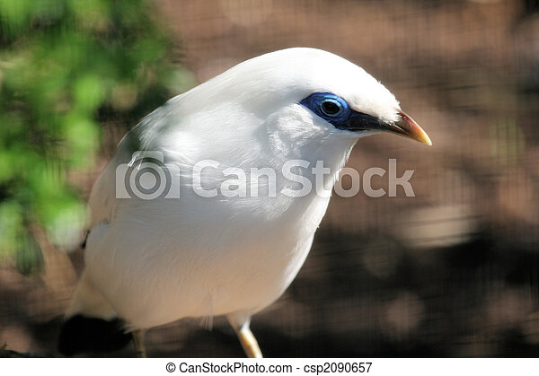 Bali Starling - csp2090657
