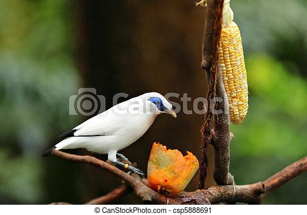 Bali Starling - csp5888691