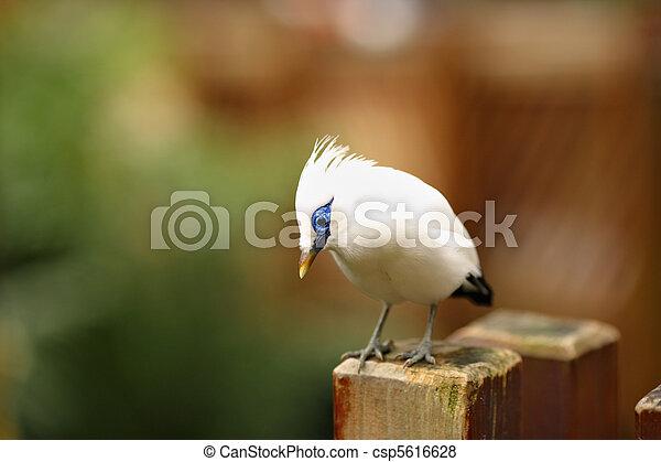 Bali Starling - csp5616628