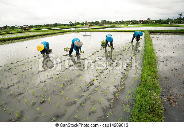 Balinese female farmers planting rice by hands. - csp14209013