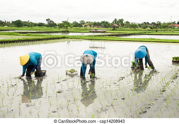 Balinese female farmers planting rice by hands. - csp14208943