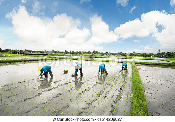 Balinese female farmers planting rice by hands. - csp14209027